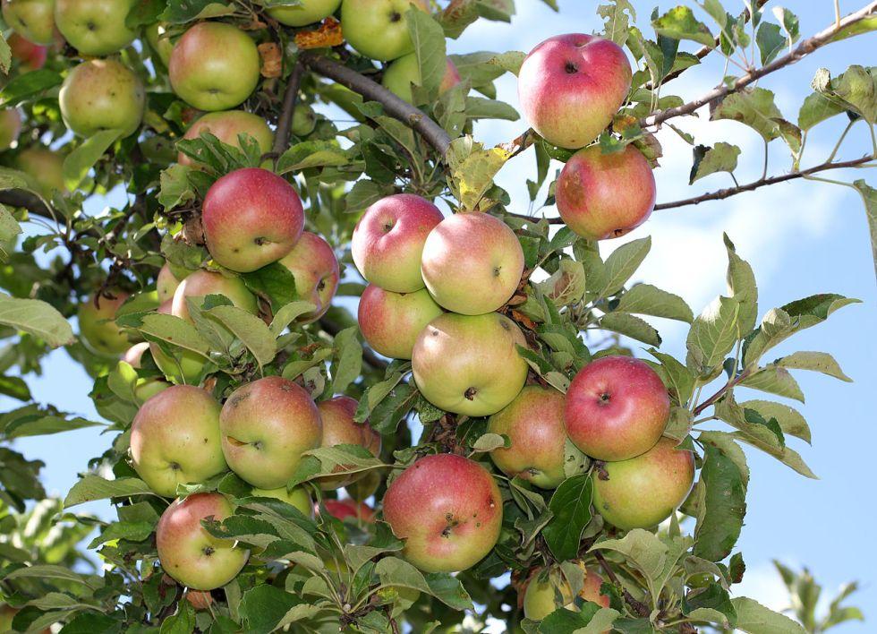 1280px-apples_on_tree_2011_g1